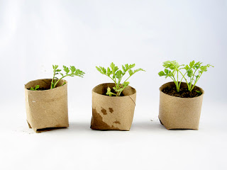 vegetable seedlings toilet rolls