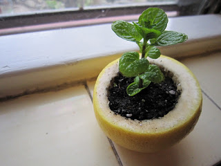 vegetable seedlings lemon